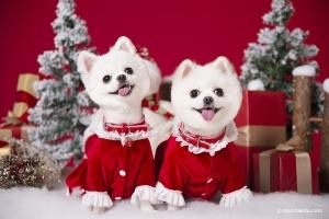 圣诞主题宠物摄影,学摄影40天的摄影师拍摄圣诞宠物大片